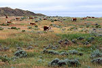 Cattle on Grassland